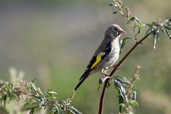 Goldfinch, carduelis del Carduelis fotografia stock