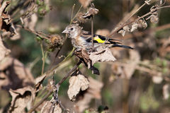 Goldfinch, carduelis del Carduelis Immagine Stock