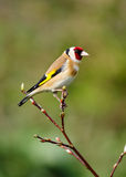 Goldfinch (carduelis del Carduelis) Fotografia Stock
