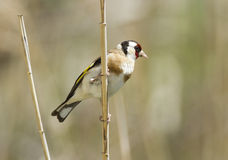 Goldfinch (carduelis del Carduelis) Immagine Stock