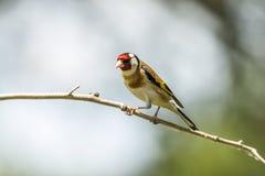 Goldfinch, carduelis del Carduelis Un uccello canoro fotografie stock libere da diritti