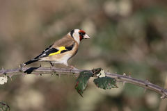 Goldfinch, carduelis do Carduelis Fotografia de Stock