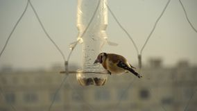 Goldfinch. Carduelis feeds from feeding box outside window. Caring for birds in winter. 4K video.  stock video footage