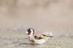 Goldfinch Carduelis series 04 Stock Images