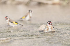 Goldfinch Carduelis series 10 Stock Photo