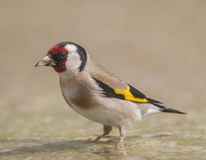 Goldfinch Carduelis series 02 Stock Photography