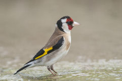 Goldfinch Carduelis series 01 Stock Image