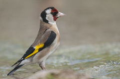 Goldfinch Carduelis series 03 stock photo