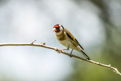 Goldfinch, Carduelis carduelis. A songbird. Carduelis carduelis, the Goldfinch is a beautiful songbird that likes to feed on thistles royalty free stock photos