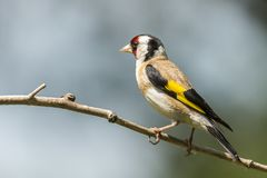 Goldfinch, Carduelis carduelis. A songbird royalty free stock images