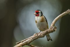 Goldfinch, Carduelis carduelis. A songbird. Carduelis carduelis, the Goldfinch is a beautiful songbird that likes to feed on thistles stock photo