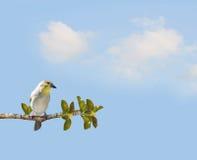 Goldfinch Carduelis tristis Royalty Free Stock Photos