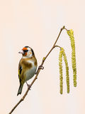Goldfinch on Catkins Stock Images