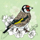 Goldfinch at the cherry blossoms Royalty Free Stock Photo