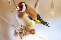 Goldfinch and cold winter. Colored bird in the snow, cold, frost, fun time,Carduelis carduelis Stock Photography