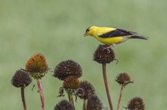 Goldfinch and Coneflowers Royalty Free Stock Images