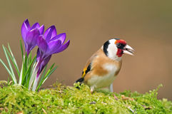 Goldfinch with crocus Royalty Free Stock Photo