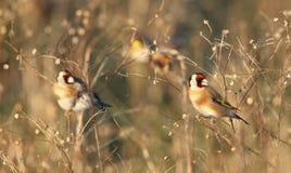 Goldfinch dans l'herbe grande photo stock