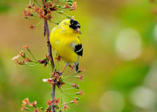 Goldfinch dans un cerisier Photo stock