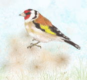 Goldfinch on dry flowers Stock Images