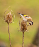 Goldfinch on dry Thistle plant Royalty Free Stock Photos