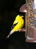 Goldfinch eating from  bird feeder Royalty Free Stock Image