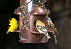 Goldfinch eating from  bird feeder Royalty Free Stock Photos
