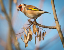 Goldfinch eating. Goldfinch perched on a tree eating seeds stock image