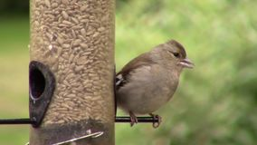 Goldfinch, eating seeds from a birdfeeder. stock video footage