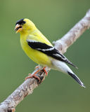 Goldfinch Eating Seeds Royalty Free Stock Photo