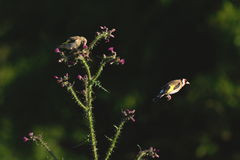 Goldfinch eating wild thistle flowers Royalty Free Stock Photography