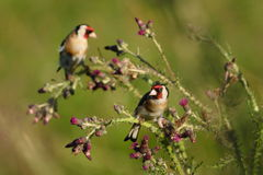 Goldfinch eating wild thistle flowers Stock Photo