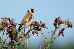 Goldfinch eating wild thistle flowers Stock Photography