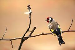 goldfinch Een mooie en geïrriteerde vogel Stock Afbeeldingen