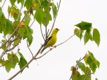 Goldfinch em uma árvore foto de stock royalty free