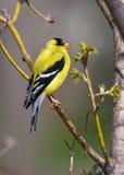 Goldfinch empoleirado Fotos de Stock Royalty Free