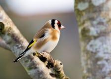 Goldfinch en hiver Images stock