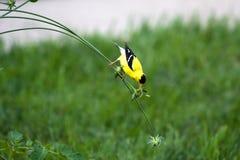 Goldfinch en un vástago Fotos de archivo