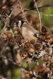 Goldfinch européen Photographie stock