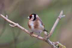 Goldfinch Royalty Free Stock Images