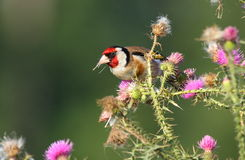 Goldfinch europeo Immagini Stock Libere da Diritti