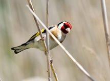 Goldfinch europeo Fotografie Stock Libere da Diritti