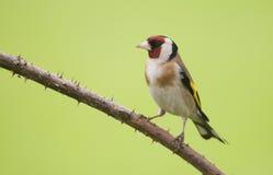 Goldfinch europeo (carduelis del Carduelis) Imagen de archivo