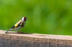 Goldfinch europeo (carduelis del carduelis) Immagine Stock Libera da Diritti