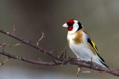 Goldfinch europeu (carduelis do Carduelis) Imagem de Stock