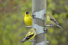 Goldfinch family. Family of goldfinchs at the feeder royalty free stock image