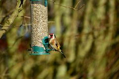 Goldfinch at the feeder Stock Image