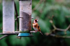 Goldfinch at a feeder. Royalty Free Stock Photo