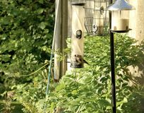 Goldfinch on feeders Royalty Free Stock Images