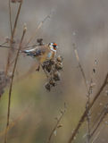 Goldfinch feeding on Thistle plant Stock Photography